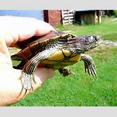 alligator-snapping-turtle