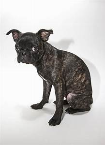 Meet the Buggs - A Cross Between Boston Terriers and Pugs
