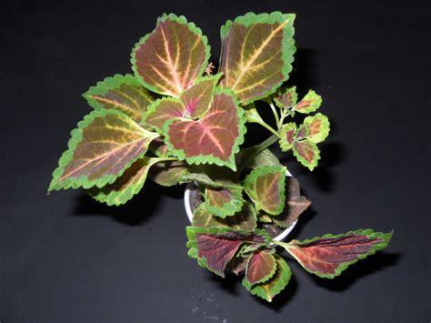 buy coleus plants coleus blumei plants world seed supply