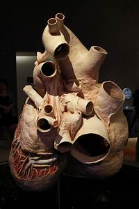 Anatomical Whale Heart Exhibitions : worlds largest heart