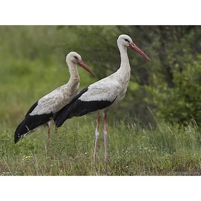 National Bird Of Belarus -White Stork - 123Countries.com