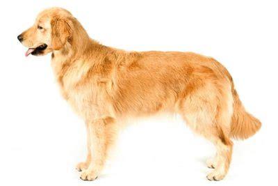 smartest dogs american kennel club