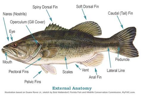 Fish Anatomy: Internal & External Anatomy of a Fish