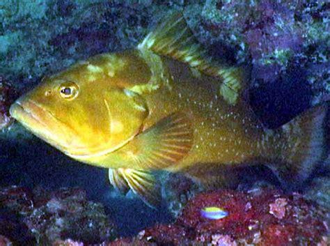 pulley ridge grouper overfishing fish veggie revolution geological survey courtesy morio epinephelus