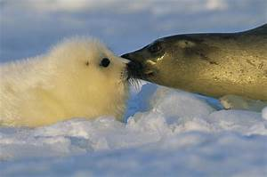 A Mother Harp Seal Sniffs Her Pup Photograph by Brian J ...