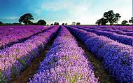 Lavender Purple Flower Desktop Wallpaper