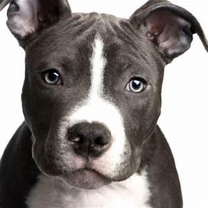 French Bulldog Pitbull Terrier Mix Photo - Happy Dog Heaven
