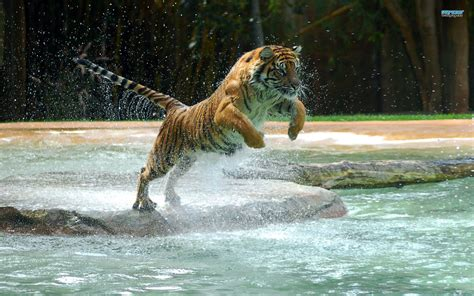 Top Most Beautiful Tiger Wallpapers
