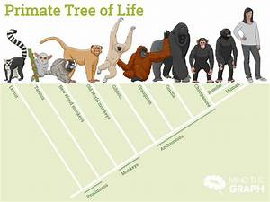 Gorilla Size Chart Chimps Humans And Monkeys What 39 S The Difference