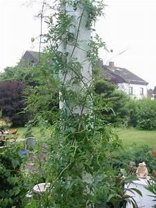 Wann Wein Pflanzen : wann clematis pflanzen clematis wann ist pflanzzeit clematis pflanzen wie und welcher standort ~ Orissabook.com Haus und Dekorationen