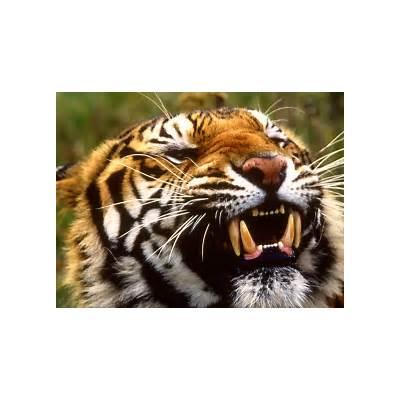 Bengal Tiger WallpapersFun Animals Wiki Videos