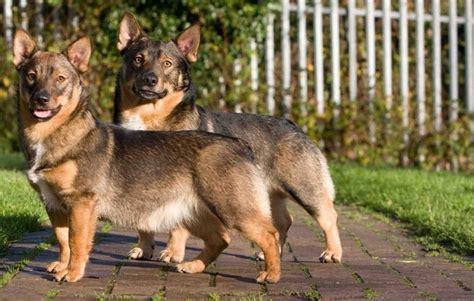 wolf corgi puppy 55 best images about swedish vallhund on pinterest