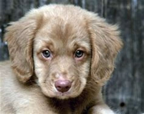 1000 images about dogs i want on pinterest chocolate