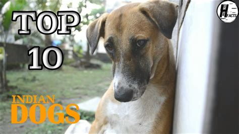 Top 10 Indian Dog Breed  Hindi  Top 10 List Hinglish