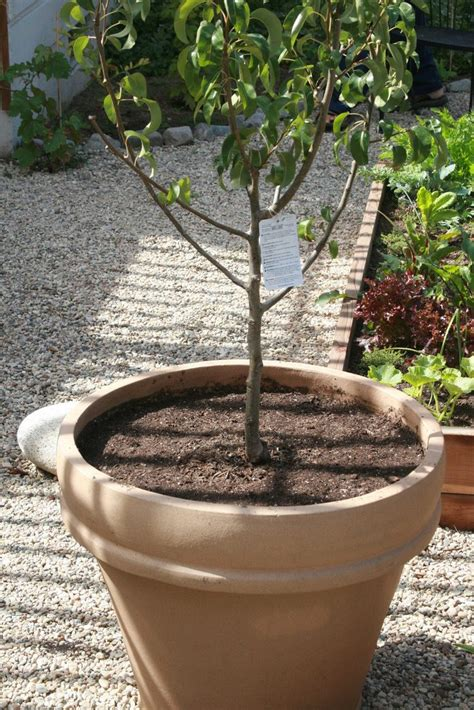 container peach tree care   grow peach trees