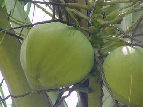 green coconut coconut food industry news