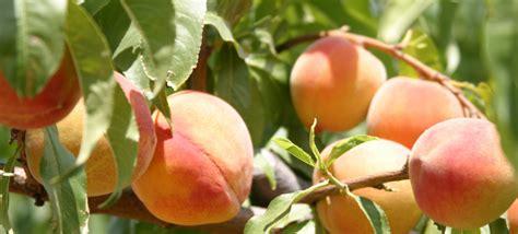 Schnepf Farms Peach Festival Brings Everything Sweet