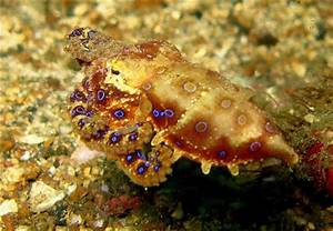 Blue Ringed Octopus Actual Size