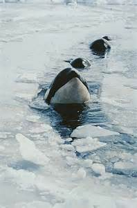 Antarctica Orca Killer Whale