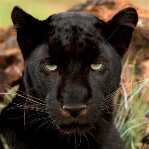 Pantera Animal Wallpaper - black panther wallpapers animal pictures by