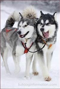 Sled Dogs (sleigh dogs, sledge dogs, sleddogs)