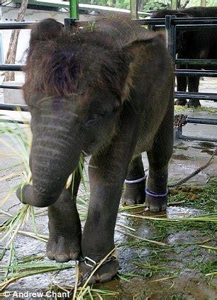 lion  hanging  cage  surabaya zoo indonesia