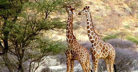 fotos de jirafas  imprimir manualidades  ninos