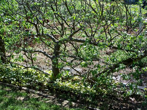 espalier apple trees 301 moved permanently