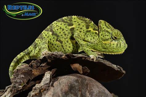 veiled chameleon care sheet reptiles  mack