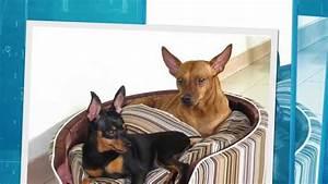Dwergpincher Pups Te Koop