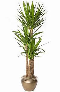 Yucca Spineless Yucca SH Interiorscapes