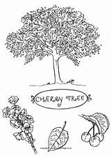 Coloring Cherry Tree Colouring Pages Blossom Sakura Fruit Drawing Trees Printable Drawings Autumn Leaf Spring Activityvillage Designlooter Leaves Activity Beech sketch template