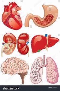Internal Organs Set Stock Vector Illustration 123547927
