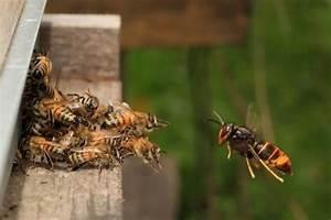 Comment Tuer Un Frelon : des millions de frelons asiatiques g ants pr ts nous an antir tout moment ~ Melissatoandfro.com Idées de Décoration
