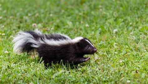 Skunks Rehabilitating Orphan And Injured Wildlife Since 1962