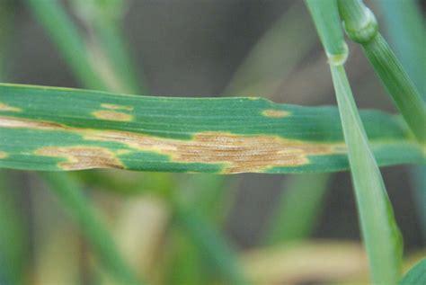 septoria wheat leaf disease blotch pepper update mississippi lesion grains note inside