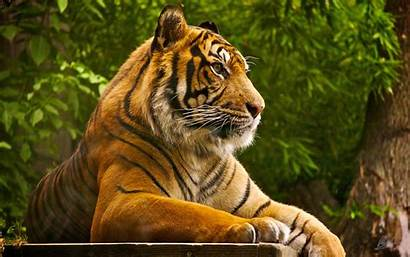 Tiger Wallpapers Deskto Desktop