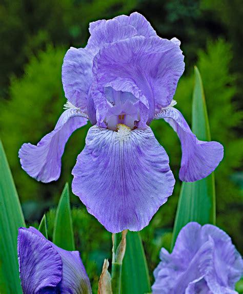 achetez maintenant une plante vivace iris des jardins