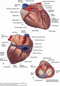 The Heart  Medschool  Doctor  Medicalstudent