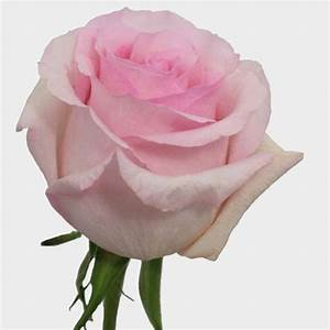 Rose Nena Light Pink 50cm - Wholesale - Blooms By The Box