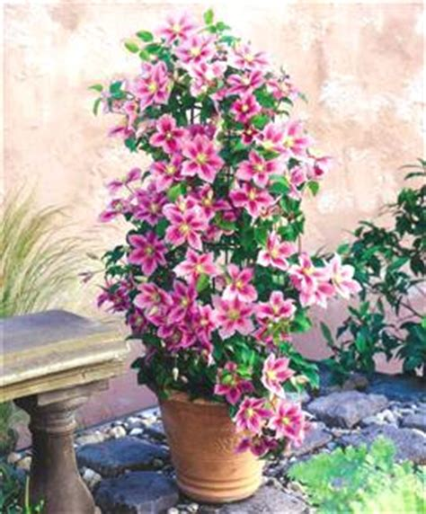 clematis piilu great potted clematis info how does your garden grow clematis