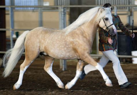welsh pony horse cob mountain horses breed ponies section breeds palomino roan mane wales paint