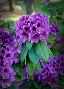 Purple Rhododendron Plants