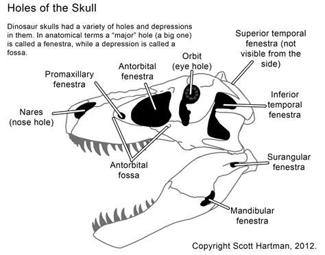 anatomyscott hartmans skeletal drawingcom