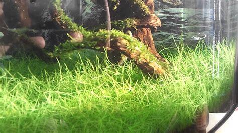 Hair Grass Aquascape by Hair Grass Pearling