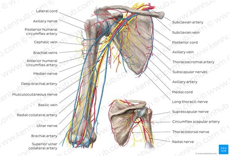 Diagram Of Arm Vessel by Diagram Pictures Neurovasculature Of The Arm And The