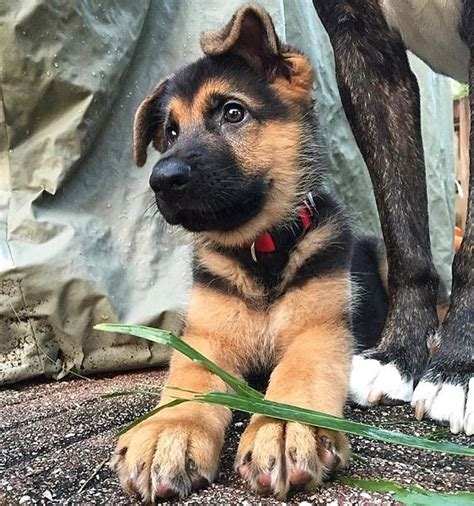 cute german shepard puppy luvbat