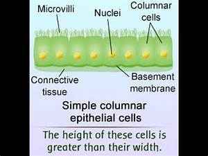 Simple Columnar Epithelium Labeled Diagram And Function