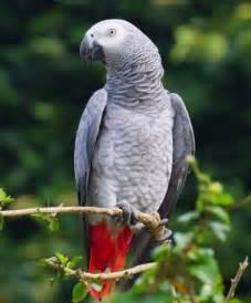 Smart African Grey Parrot