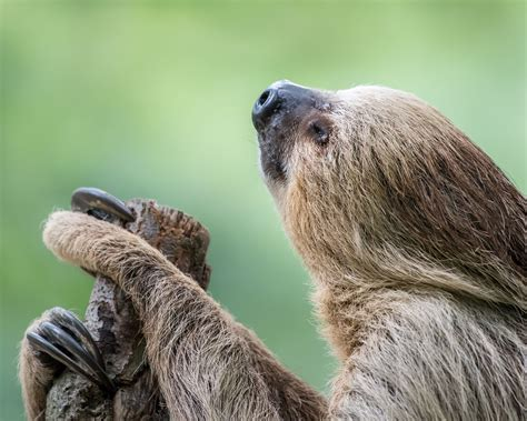 Two Toed Sloth Null Two Toed Sloth Sloth Cute Sloth